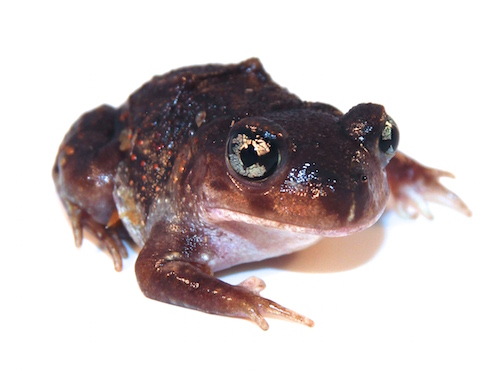 Eastern Spadefoot Toad for sale