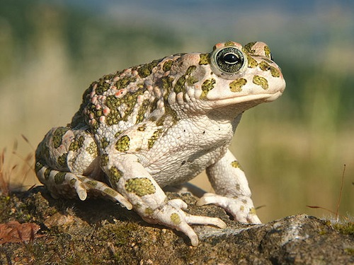 Egyptian Toad for sale