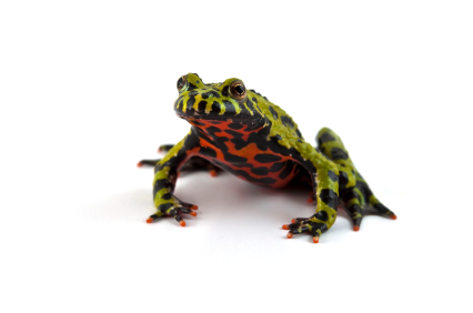 Fire Bellied Toad for sale