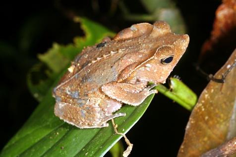 Leaf Toad for sale - Bufo margaritifer