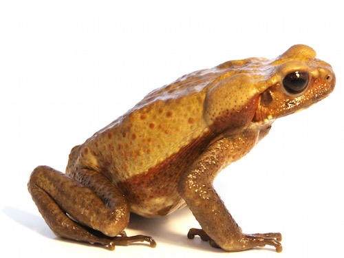 Smooth Sided Toad for sale - Bufo guttatus