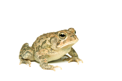 Southern Toad for sale