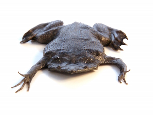 Surinam Giant Toad for sale