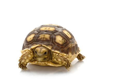 Baby Sulcata Tortoise for sale
