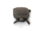 Buy a Burmese Mountain tortoise