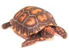Buy a Cherry Head Red Foot tortoise