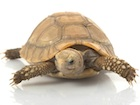 Buy an Elogated tortoise