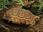 Buy a Forest Hingeback tortoise