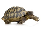 Buy a Hermans tortoise