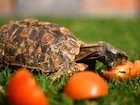 Buy a Home's Hingeback tortoise