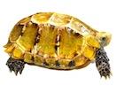 Buy an Impressed tortoise