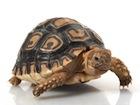 Buy a Leopard tortoise