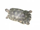 Buy a Marginated tortoise