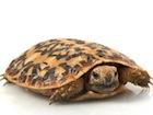 Buy a Pancake tortoise