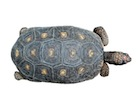 Buy a Red Foot tortoise