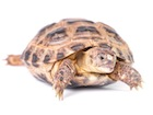 Buy a Russian tortoise
