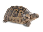 Buy a Greek tortoise