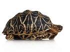 Buy a Star tortoise