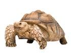 Buy a Sulcata tortoise