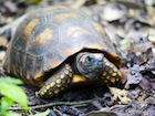 Buy a Yellow Foot tortoise
