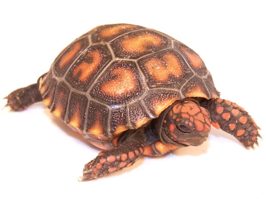 Cherry Head Red-foot Tortoise for sale