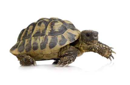 Hermans Tortoise for sale