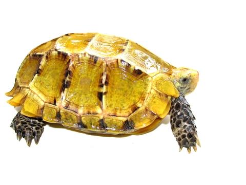 Impressed Tortoise for sale - Manouria impressa