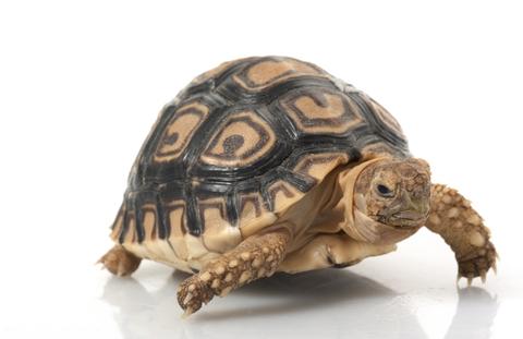 Leopard Tortoise for sale - Stigmochelys pardalis
