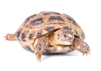 Russian Tortoise for sale