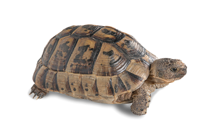 Spur thighed Greek Tortoise for sale