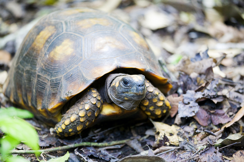 Yellow Foot Tortoise for sale - Geochelone denticulata