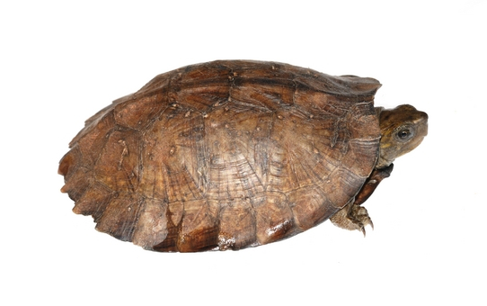 Asian Leaf turtle for sale - Heosemys grandis