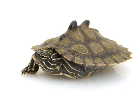 Black Knobbed Map Turtle For Sale Reptiles For Sale