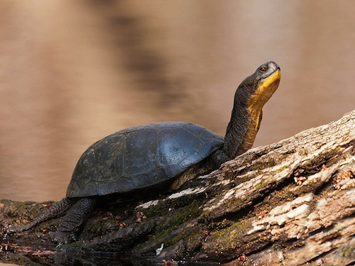 Blandings turtle for sale - Emys blandingii