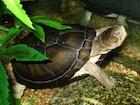 Buy African Hinge Sideneck Turtle