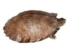 Buy Asian Leaf Turtle
