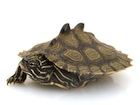Buy a Black Knobbed Map Turtle