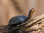 Buy a Blandings Turtle