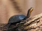 Buy a Blandings Turtle