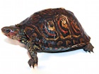 Buy Central American ornate wood turtle