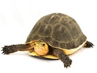 Buy Chinese Box Turtle