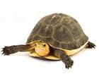 Buy Chinese Box Turtle