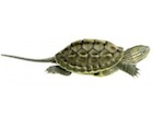 Buy a New Guinea Sideneck Turtle