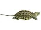 Buy a New Guinea Sideneck Turtle