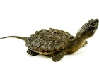 Buy a Snapping Turtle