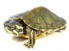 Buy Cumberland Slider Turtle