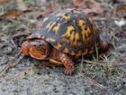 Buy an Eastern Box Turtle