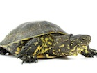 Buy a European Pond Turtle