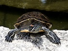 Buy Florida Red Bellied Turtle