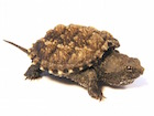 Buy a Florida Snapping Turtle